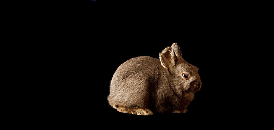 columbia basin pigmy rabbit_sized