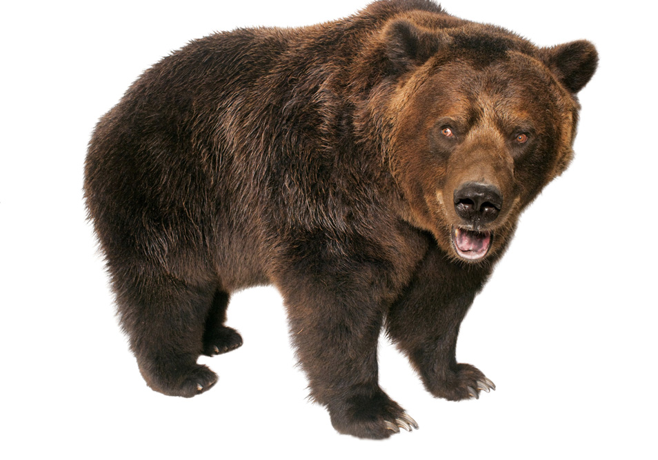 grizzly bear_sized